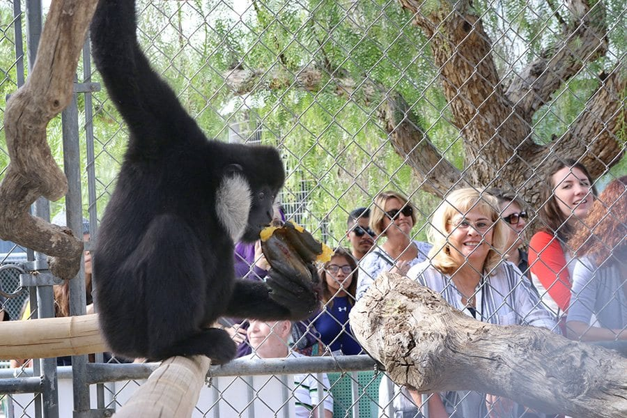 A gibbon enjoys a Thanks-Gibbon meal as attendees for the event watch at the Gibbon Conservation Center in Santa Clarita on Saturday. Nikolas Samuels/The Signal